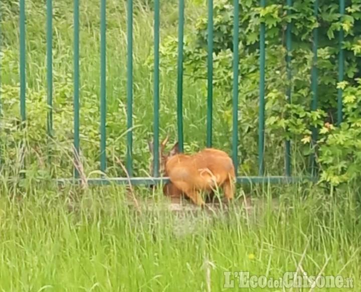 È tornato libero il capriolo incastrato nella recinzione dell'Irccs di Candiolo