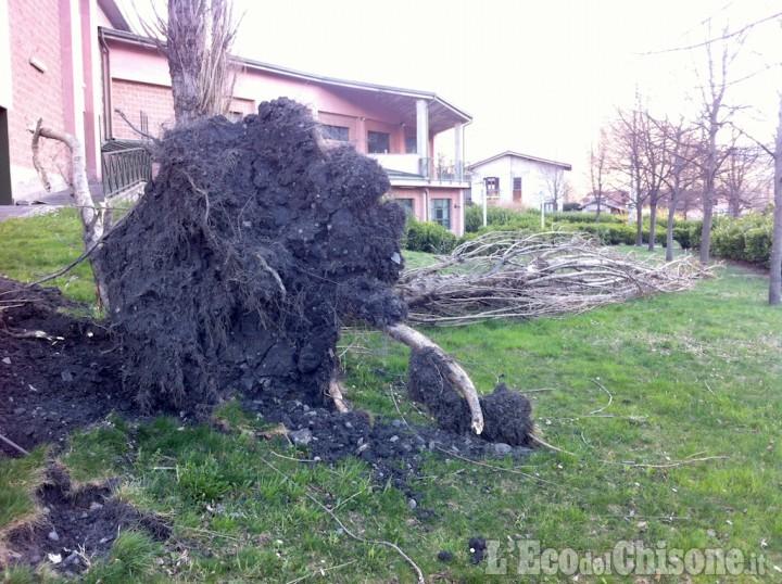 Danni del vento: albero sradicato vicino al cinema di Villar Perosa