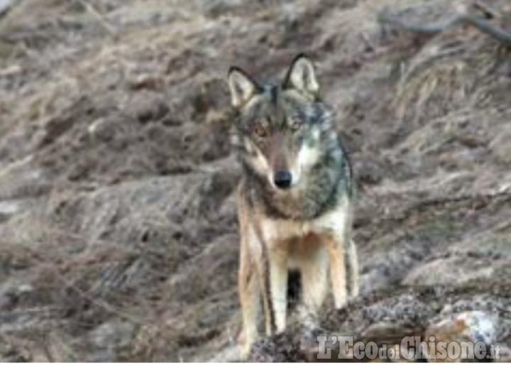 Polemica sul lupo: oggi Deidier e Canavese dall'assessore Carosso, ieri il Consiglio del parco Alpi Cozie