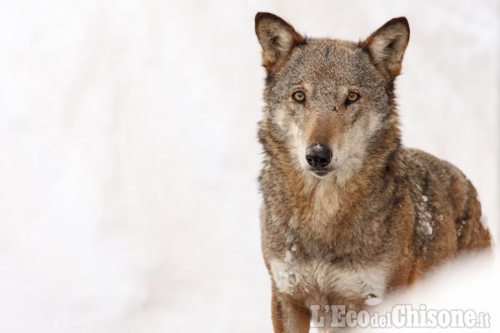 Bovini sbranati a Fenestrelle, Coldiretti chiede di ripensare la gestione dei lupi