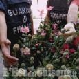 Pinerolo: piante di papavero da oppio nell'orto di due 70enni