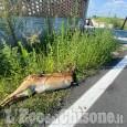 Vinovo: una carcassa di capriolo davanti a casa