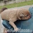 Bruino: gettano nella spazzatura tre cuccioli di cane appena nati, denunciati