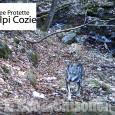 Forse avvistato il primo ibrido di lupo sulle Alpi Cozie