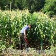 Saluzzo: coltivava hashish in un bosco, giovane denunciato