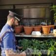 Nichelino: piantagione di marijuana nel parco di Stupinigi, denunciato albanese