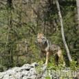 I ricercatori di Life WolfsAlps: «Di lupo di deve parlare, ma senza allarmismi»