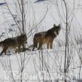 Al lupo, al lupo: anzi no. L'ennesima bufala del web