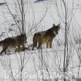 Segnalato il primo branco di lupi nei pressi del parco naturale del Monte San Giorgio