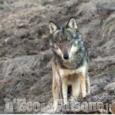 Gestione del lupo: il Piemonte coordina un tavolo delle Regioni del Nord per condividere una proposta