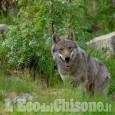 Lupo: le lettere all'Eco di sindaci e allevatori su gestione e progetto WolfAlps