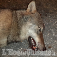 Bibiana: lupo travolto e ucciso da un'auto