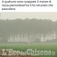 Mucche scappano da cascina tra Piobesi e Candiolo, ritrovate grazie a Facebook
