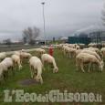 Orbassano: un gregge di pecore rischia di invadere la tangenziale sud