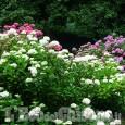 Pinerolo, domenica nel parco di Villa Doria per la fioritura delle ortensie