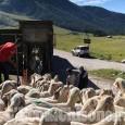Predazione da lupi: il gregge decimato lascia l'alpeggio, sanzioni per il proprietario
