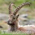 Le Alpi Cozie celebrano lo stambecco a 30 anni dal ritorno in Val Troncea