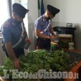 Valgioie: scoperta dai carabinieri piantagione di marijuana