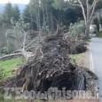 Pinerolo: vento abbatte il viale presso cimitero