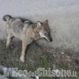 Carcassa segnalata in bassa Val Chisone, Federcaccia: «Il 30º lupo morto in Piemonte