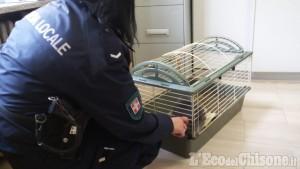 Nichelino: coniglietto domestico abbandonato salvato da Polizia locale