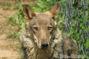 Danni da predazioni di canidi e lupi: la Regione ha erogato agli allevatori 186mila euro nel 2019