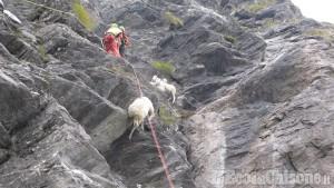 Dieci pecore salvate dal Soccorso alpino su una parete rocciosa a Salza di Pinerolo