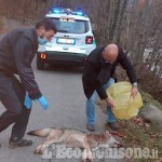 Val Pellice: investito lupo ad Angrogna