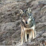 Danni da lupi: 300mila euro stanziati dalla Regione per indennizzi diretti e prevenzione