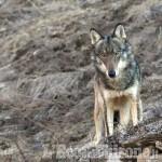 Danni da lupi e orsi: aperto il bando da 300mila euro a favole degli allevatori del Piemonte