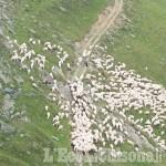 Ancora il lupo, strage di pecore in Alta Val Pellice