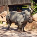 Cumiana: il bioparco Zoom dà il benvenuto al rinoceronte bianco Rami