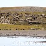 16 agnellini predati all'Assietta a fine luglio: sono stati i lupi, probabilmente cuccioli