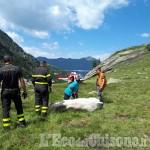 Prali: soccorsa una vacca con l'elicottero dei Vigili del fuoco